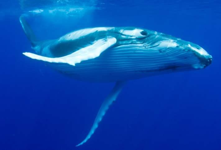 jak velký je penis velryb spermatu
