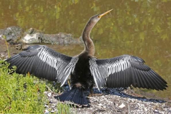 Sání velkého černého ptáka