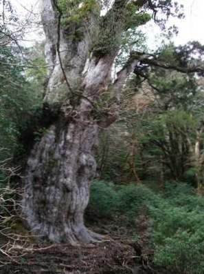 přesnost datování kroužků stromů